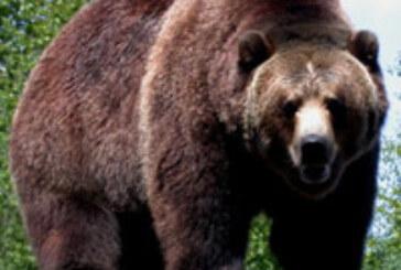 Sacrifican a un oso grizzly después de matar a un hombre