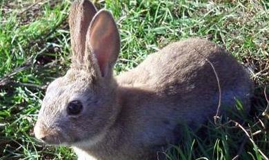 Adecana sigue defendiendo la no obligatoriedad del guarderío para la caza estival de conejo