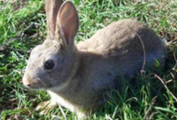 La presión cinegética reduce los daños provocados por el conejo en los cultivos navarros