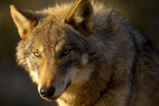 Dos nuevos ataques de lobo este fin de semana en la sierra de Badaya