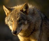 La ONC rechaza la propuesta de Equo/Podemos sobre el lobo por el riesgo que supone la sobreprotección de esta especie para su supervivencia