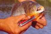 Un pescador encuentra pirañas en el río Drava en Croacia