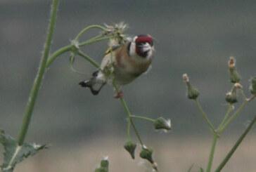 La lista de aves fringílidas que se permiten capturar es cada vez más restrictiva