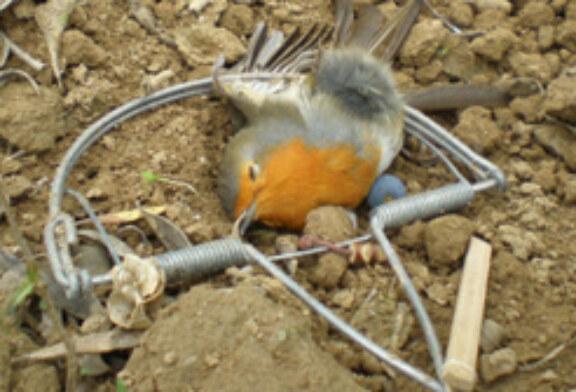 Medio Ambiente recuerda que la captura de pájaros insectívoros está penalizada
