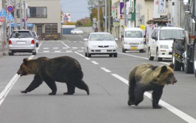 Tres osos salvajes invaden las calles de una ciudad japonesa sembrando el pánico