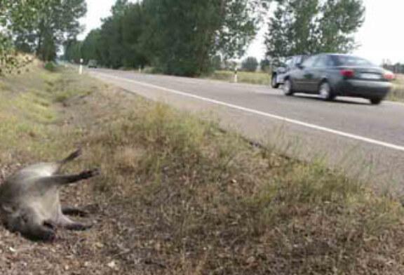 Siguen sin resolverse los accidentes de tráfico por especies cinegéticas