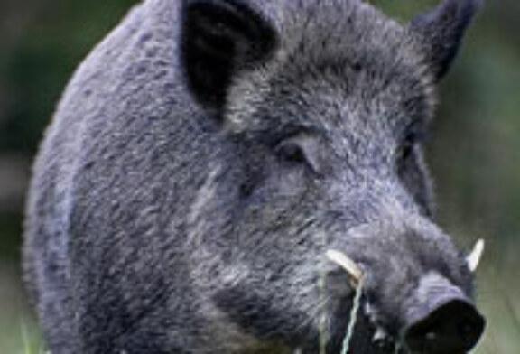 Un jabalí de 200 kilos destroza la pierna de un cazador en Suecia