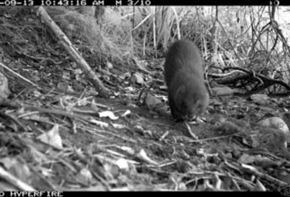 Habilitado en Caparroso un nuevo hábitat para el visón europeo