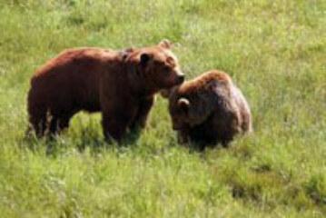 Nacen dos osos pardos en el Parque Nacional de Picos de Europa