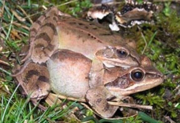 """Se crea en Orduña habitats para la recuperación de la """"Rana Ágil"""""""