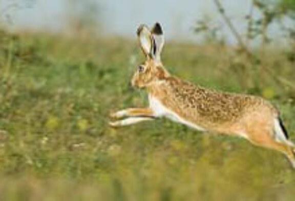 Dando repaso a las tres especies de liebres existentes en la península ibérica