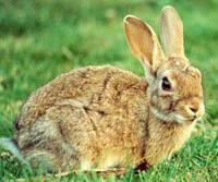 Adecana critica la autorización para controlar los daños producidos por la población de conejo
