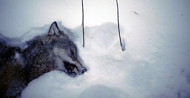 La FACE inicia una recogida de firmas para mantener la caza reguladora del lobo en Suecia