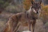 El lobo va en aumento en toda la Península Ibérica