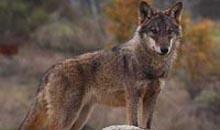 Un informe de la UE señala la buena situación de población del lobo en España y su tendencia al crecimiento a medio y largo plazo