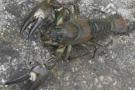 Este viernes finaliza el plazo de presentación de solicitudes para participar en el sorteo de permisos de cangrejo señal y rojo en Álava