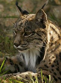 El sector cinegético considera demostrada la inocuidad del control de predadores para el lince ibérico