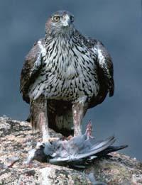 Técnicos y agentes ambientales mejoran la conservación del águila perdicera