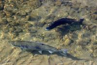 Finaliza la temporada de pesca de salmones en Navarra