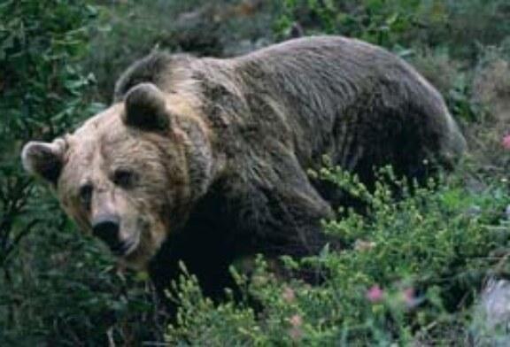 Fundación Oso Pardo y MARM, unidos para fomentar el hábitat y la conservación del oso pardo