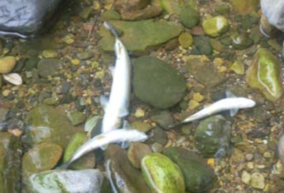 La sociedad de pesca Fario denuncia la masacre de cientos de truchas en el río Miera