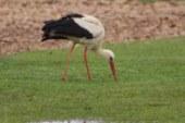 La cigüeñas engullen nidos y pollos, tanto coturnos, como del resto de las aves