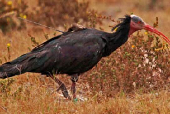 Medio Ambiente ayuda a localizar a dos ejemplares de ibis eremita en Marruecos