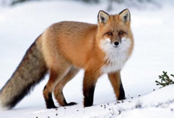 El MARM aprueba las directrices básicas para el control de predadores en toda España