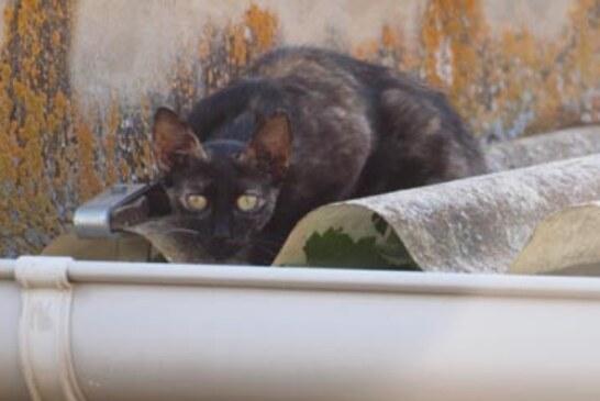 El gato doméstico es uno de los predadores más daniños para la biodiversidad