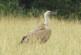 ¿Atacan realmente los buitres y otras aves carroñeras al ganado?