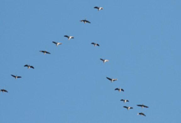 El ave migradora más espectacular