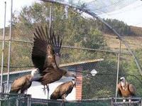 Ocho buitres leonados recuperados en Gorliz serán soltados en los Balcanes