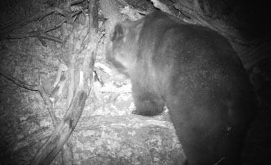 Capturan un oso pardo cantábrico que presentaba un comportamiento irregular