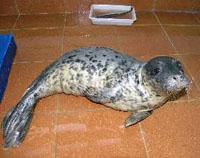 Un cachorro de foca gris se recupera de conjuntivitis en el centro de Gorliz
