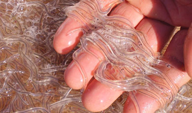 Las angulas regresan a los ríos gipuzkoanos
