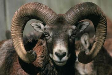 Agricultores de Valdorba preocupados por la presencia de muflones piden su retirada