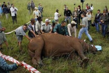 Matan a un rinoceronte en una demostración de una medida contra la caza furtiva