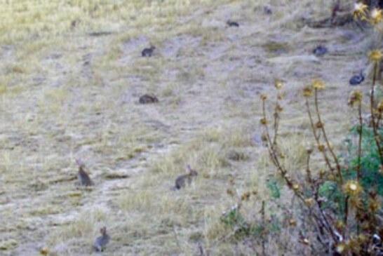 Cazadores y agricultores piden al MAGRAMA una solución contra la plaga de conejos