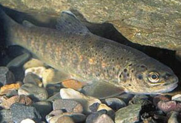 CyL aprueba el proyecto de la nueva Ley de Pesca, que protege a la trucha común