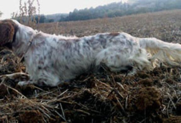 Prueba de aptitudes naturales (PAN) para perros de muestra en Lumbier