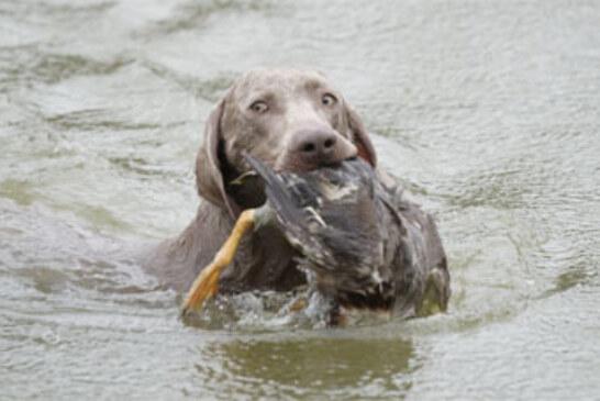 """Los mejores perros de caza """"alemanes"""" en la Cendea de Cizur y Olite"""