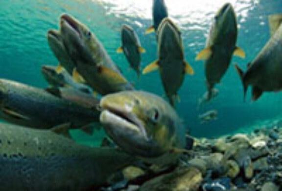 Los pescadores capturan siete salmones en el río Bidasoa en los primeros días de temporada
