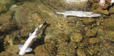 La Consejería confirma que los peces muertos en el río Pas han sido envenenados