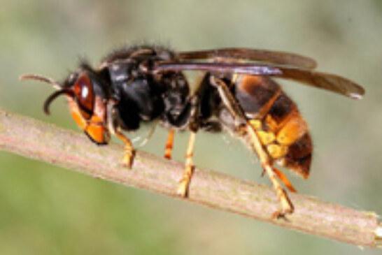 La Diputación detecta la presencia de la llamada avispa asiática en Álava