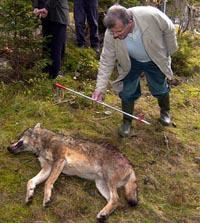 La Junta fija en 138 ejemplares los cupos de caza de lobo al norte del río Duero