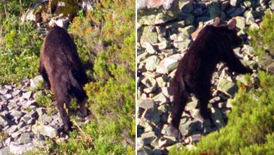 La RFEC lamenta el incidente con un oso herido en la montaña palentina