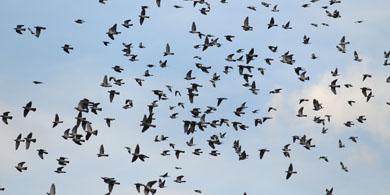 Chaparrón de aves migratorias
