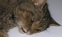 Se confirma la presencia de gato montés puro en Bizkaia