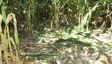 Asaja pide a Ecologistas en Acción que paguen los daños que provocan los jabalíes