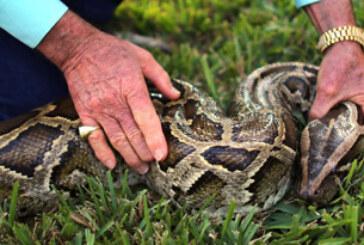 Florida premia la caza de pitones birmanas para combatir la superpoblación de la especie